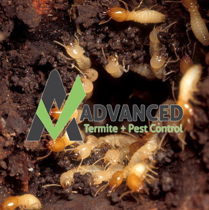 Active Termites in Charleston, SC.