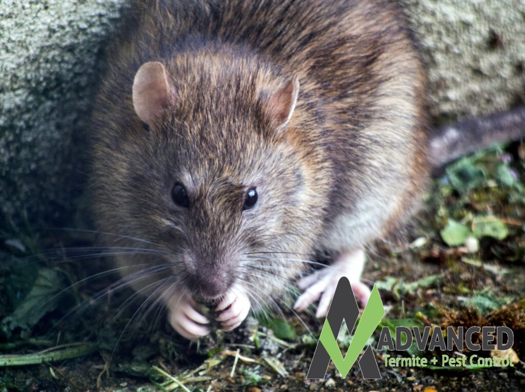 How to get rid of rodents, fat rat eating