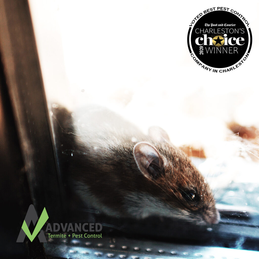 Rodent Control - mouse trying to get indoors