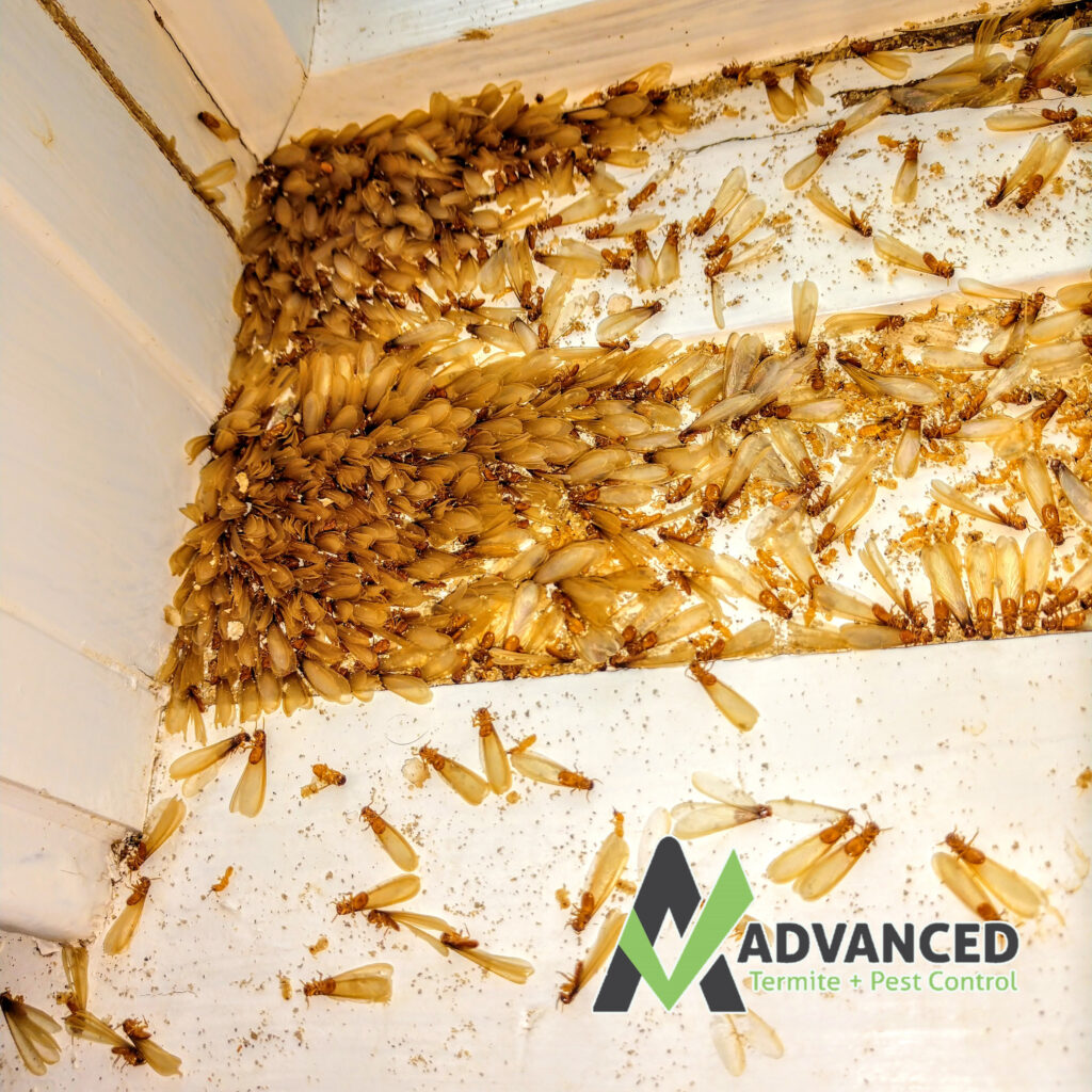 hundreds of termite swarmers in a window sill of an Advanced Termite and Pest Control customer.